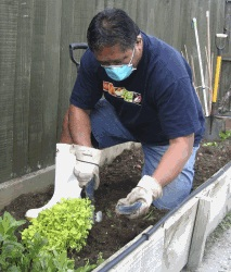 A Maori man wearing a mask planting vegetables in a raised garden bed.